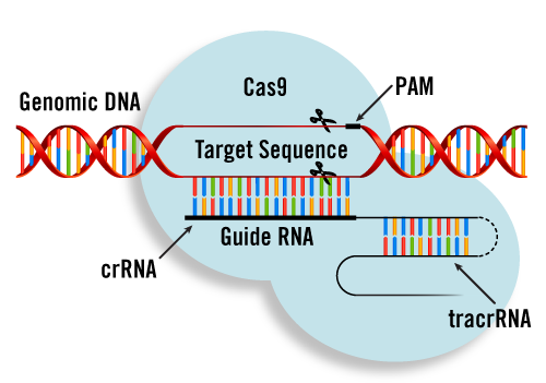 RNA-programmed DNA Cleavage by Cas9
