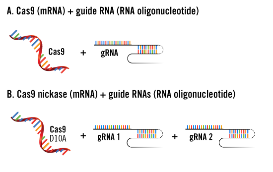 CRISPR mRNA and gRNA Delivery Approaches
