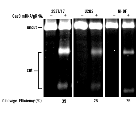 Delivery of Cas9 mRNA and CRISPR Guide RNA with TransIT-mRNA Transfection Kit