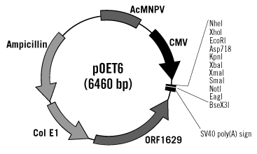 pOET6 BacMam Transfer Plasmid Map