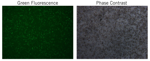 Transfection Optimization in Sf9 insect cells with TransIT-mRNA Transfection Kit.
