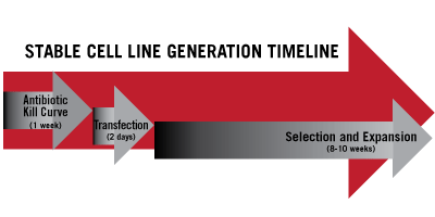 Timeline for Stable Cell Line Generation
