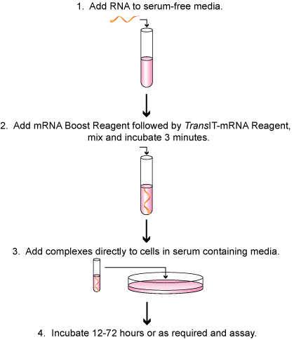 Easy Transfection Protocol in Serum Containing Growth Media