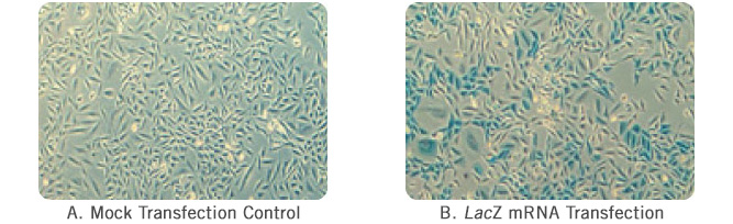 Figure 6:The TransIT-mRNA Transfection Kit Efficiently Delivers the lacZ mRNA to CHO-K1 Cells.