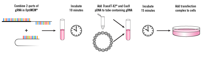 CRISPR Plasmid DNA Transfection Workflow